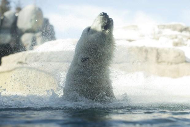 polars-bears-kent-20130221