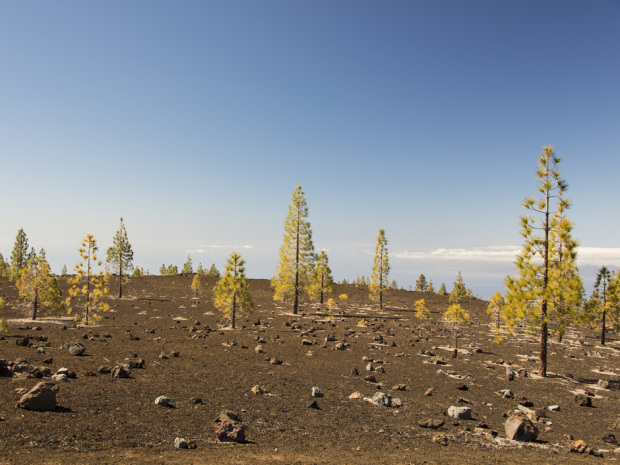 A pine forest in the barren volcanic landscape surrounding the volcano Teide on Tenerife, Canary Islands